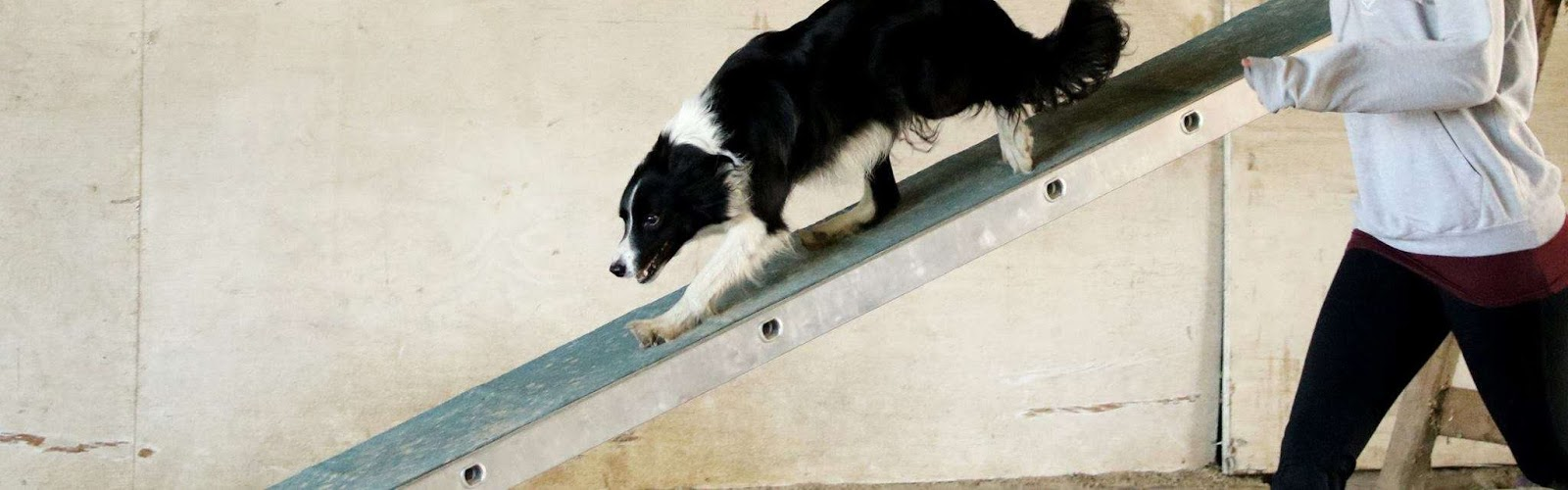 a border collie walking down a ladder