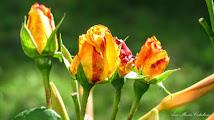 Photo: Trandafiri - (Rosa)  Callea Victoriei - Parcul Bisericii din Mr.3 -  (2014.06.28) album http://ana-maria-catalina.blogspot.ro/2016/04/trandafiri-rosa.html