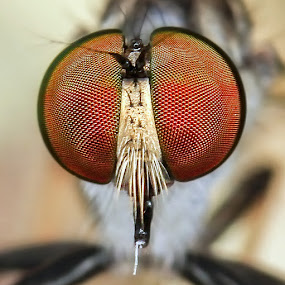 The Eye of Robberfly by Fairul Izwan CreativeVision - Animals Insects & Spiders ( macro, eye )