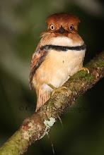 Photo: Collared Puffbird