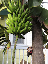 Photo: Banana tree with the monkey calling your name.
