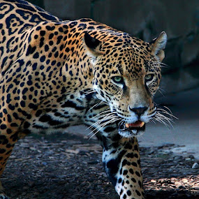 Jaguar on the prowl by Margie Troyer - Animals Lions, Tigers & Big Cats (  )