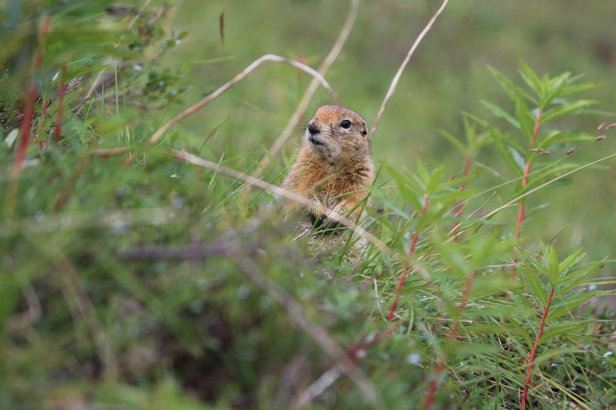 Arctic ground squirrel (siksik)