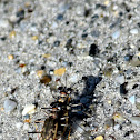 Margined Tiger Beetles