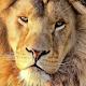 Lion Wallpaper HD APK