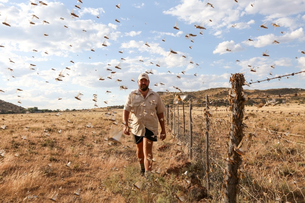WATCH   Crops wiped out in hours as Karoo farmers fight devastating locust invasion