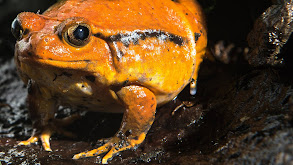 Frogs thumbnail