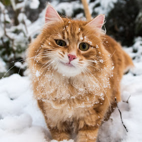 Tomcat by Crazy  Photos - Animals - Cats Portraits ( norwegian forest, orange, cat, red, winter, british, long hair, snow, funny )