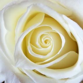 White Rose by Jennifer Lamanca Kaufman - Nature Up Close Flowers - 2011-2013 ( love, rose, nature, petals, simple, beautiful, white, flower, closeup )