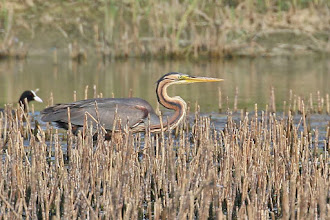 Photo: Purple Heron