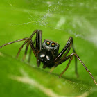 Ant mimicking jumping spider(Male)
