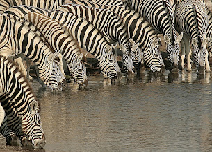 Photo: Zebra convention (2)