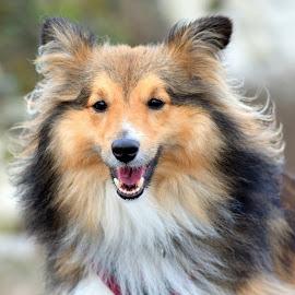 Benji at Holywell by Fiona Etkin - Animals - Dogs Portraits ( canine, animal portrait, pet, shetland sheepdog, dog, sheltie, smiling, animal,  )