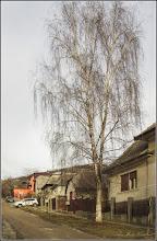 """Photo: Mesteacăn (Betula) - """"....Prin aspectul său luminos şi frunzele sale delicate, mesteacănul întruchipează primăvara mai bine decât oricare alt copac. Usor, suplu şi totuşi rezistent, mesteacănul reprezintă tinereţea şi energia....."""" - Imag pe Str. Dorobanti - 2019.02.13  https://howandwhy.ro/natura/418-Mesteacanul-arborele-frumusetii.html  https://www.facebook.com/photo.php?fbid=2750811254946615&set=a.1311196795574742&type=3&theater"""