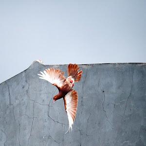 burung dara.jpg