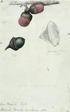 Photo: Watercolour painting of acorns from tropical oak trees in Sarawak by Wallace in 1855. First published: Raby (2001). Scanned with permission from the Wallace family. Copyright of scan: A. R. Wallace Memorial Fund.