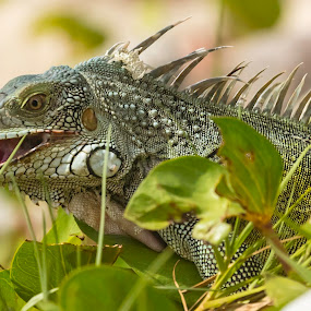 Iguana strolling around by Greg Bracco - Animals Amphibians ( saint maarten. bikini beach, canon 1d x mark ii, saint marten, mullet bay, greg bracco photography,  )
