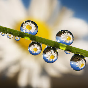 Reflections by Alberto Ghizzi Panizza - Abstract Water Drops & Splashes ( dewm drop, water, reflection, grass, white, blade, daisy, flower, , drops )