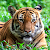 Tiger Live Wallpapers file APK for Gaming PC/PS3/PS4 Smart TV