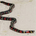 Honduran Milk Snake (Tropical Kingsnake)