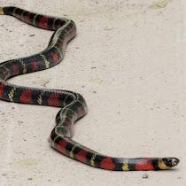 Amphibians & Reptiles en Cuenca Santa Inés, Zamorano, Honduras