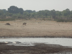 Photo: Glancing at the group of zebras and giraffes that ran away from the waterhole upon her arrival
