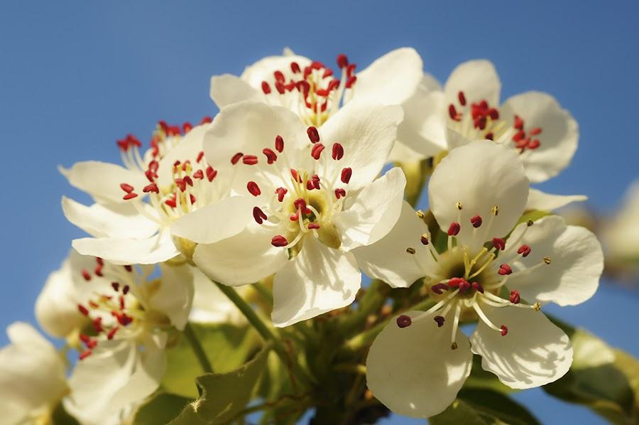 blossom by Costin Mugurel - Flowers Tree Blossoms ( nature, tree, spring, flower, blossom,  )