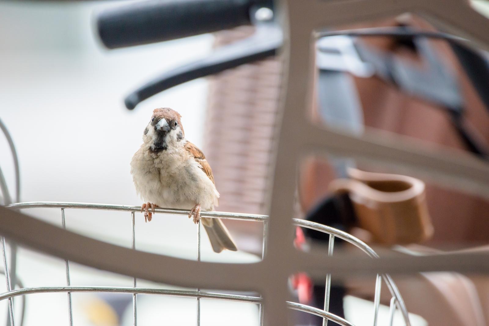 Photo: どこか連れてって Take me somewhere.  どこからか来て どこかへと行ってしまう にんげんの乗り物 ここにいたら どこか連れてってくれるのかな  Sparrow. (雀)  #birdphotography #birds #cooljapan #kawaii #nikon #sigma  Nikon D800E SIGMA 150-600mm F5-6.3 DG OS HSM Contemporary