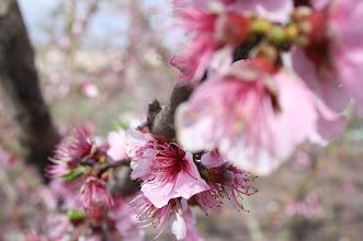 Photo: primavera en los melocotoneros de mi padre!. A veces el bosque no te deja ver las hojas... Más de estas en mi www.flickr.com/aabrilru