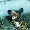 Big-eared opossum