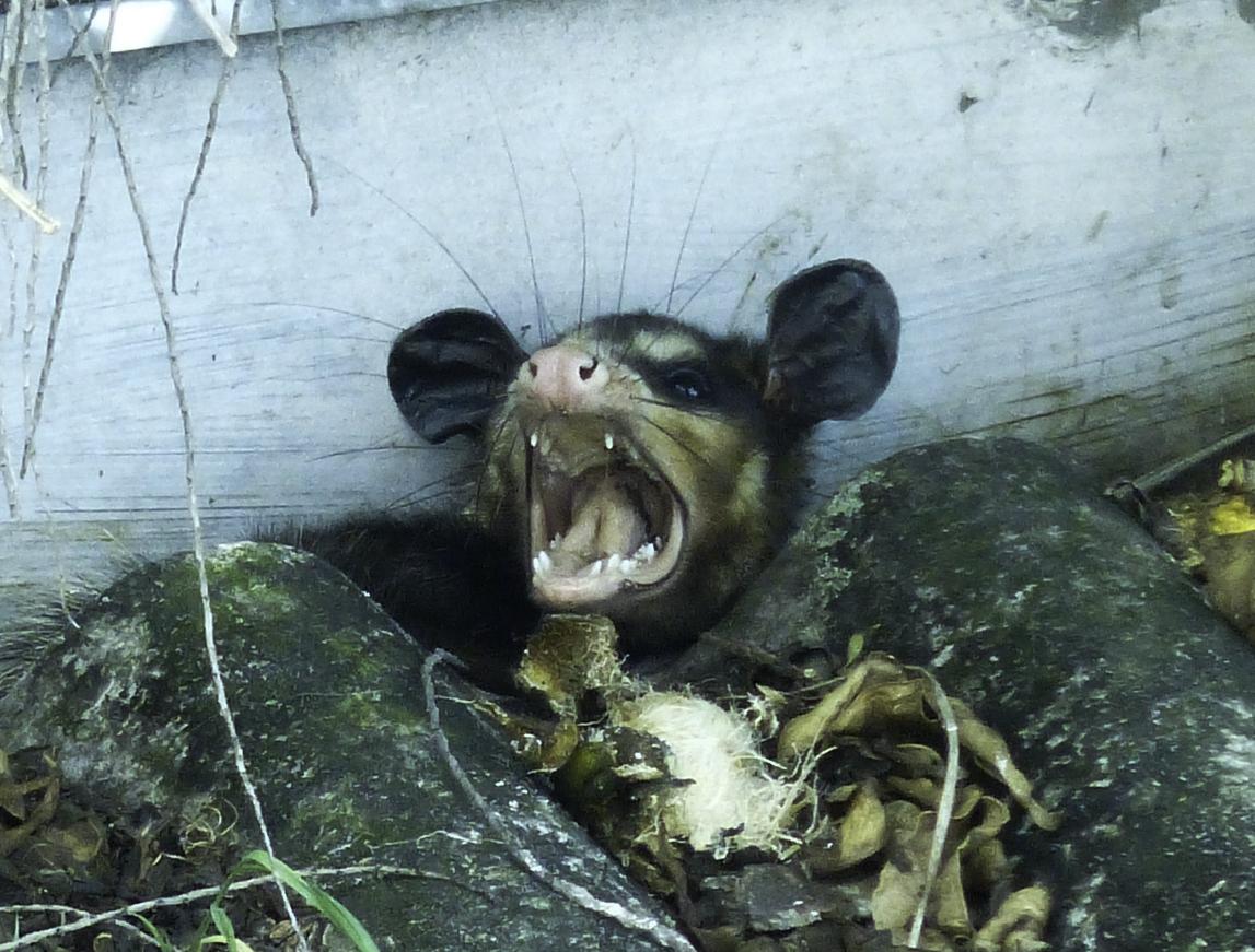 Big-eared opossum