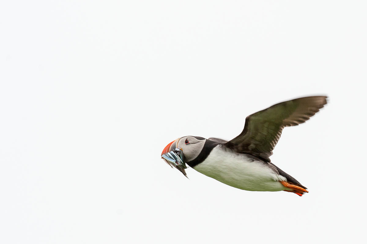 Photo: Puffin in Flight  These blighters are tricky to catch! They pass by like bullets and you can waste half a CF card on blank sky or on blobs of out of focus bird... I managed to get a few sharp-ish ones that I can crop down and use here - no chance of a 30x20 inch print from these though! ;)  Posting this for +Sam Breachwho seems to love Puffins! :)  Edit: There seems to be an issue with Google doing a narrow crop here, the full image is viewable by clicking, hopefully they'll correct the error - or maybe there's something new coming...