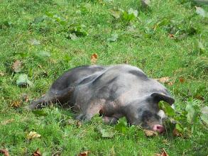 Photo: Zo lui als een varkentje.