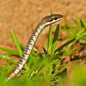 Buff-striped Keelback