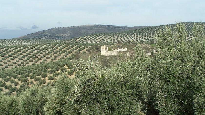 Campo de olivos en Almería