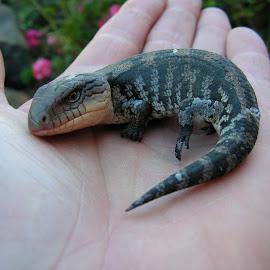 Blue tongue lizard by Greg Jones - Animals Reptiles ( close up, tasmania, reptile, lizard )