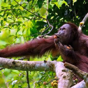 Orangutan Borneo Willy Ekariyono by Willy Ekariyono - Animals Other Mammals ( wildlife photography, primate, kalimantan, other mammals, orangutan, willy ekariyono, animal, indonesia, photography, endemic species, borneo )