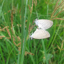 lesser grass bluee butterfly