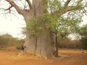 Photo: Sn5Ins0801-160208vraiment énorme et grandiose ce baobab, Bandia, aire d'arrivée IMG_0977