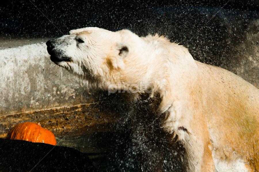 Polar Bear article by Michael Keel - Animals Other ( bear, polar bear article, zoo, polar bear )