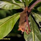 Formosan golden bat