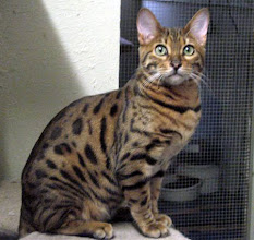 Photo: His sire is Kokopellies Shilohsummerz, a brown spotted Bengal.