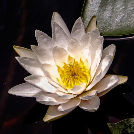 Lovely Lily by Richard Michael Lingo - Flowers Single Flower ( pond, single flower, yellow, water lily, flower,  )