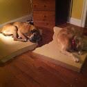 Boxer Labrador/Beagle mix