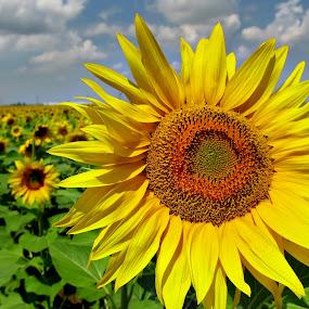 Sun Flower by Daliana Pacuraru - Nature Up Close Gardens & Produce ( daliana pacuraru, sun flower, yellow, pwcflowergarden-dq, , Hope )
