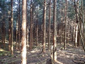 暫くは植林の中を進む