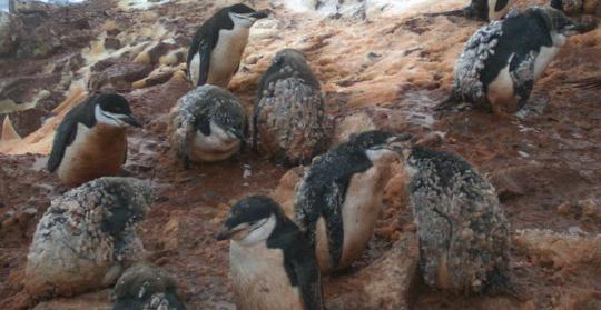 unsure-penguins