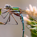 Metallic Ringtail Damselfly