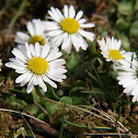 Common daisy, Lawn daisy