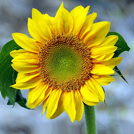Sunflower by Asif Bora - Flowers Flowers in the Wild (  )